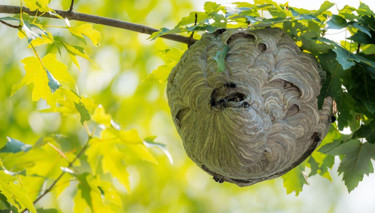 Le nid de frelons asiatiques